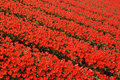 Red tulip fields Royalty Free Stock Photo