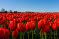 Red Tulip Fields close up view Royalty Free Stock Photo