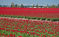 Red Tulip Fields in Spring Landscape Royalty Free Stock Photo