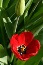 Red tulip flower in bloom Royalty Free Stock Images
