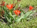 Red tulip flower bloom on background of blurry red tulips Royalty Free Stock Photo
