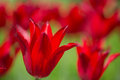 Red Tulip Flower On Bright Bac...