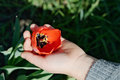 Red tulip flower in child's hand Royalty Free Stock Photo