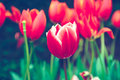 Red tulip flower look vintage Royalty Free Stock Photo