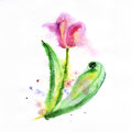 Red tulip flower watercolor illustration on a white background painted in Stock Image