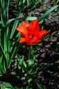Red tulip on a flowerbed in garden