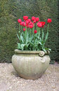 Red tulip flowers in antique vase tulips an ornate pottery on a gravel path with a dark green hedge background garden a pot bloom Royalty Free Stock Images