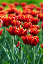Red tulip flowers field Royalty Free Stock Photo