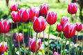 Red tulip flowers Royalty Free Stock Photo