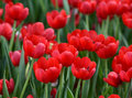 Red tulip flowers at the park in Hanoi, Vietnam Royalty Free Stock Photo