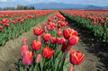 Red tulip flowers scenic view of receding into the distance mount veron washington u s a Royalty Free Stock Photo