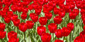 Red Tulip Flowers in the Spring Royalty Free Stock Photo