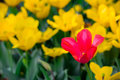 A red tulip in full bloom in a field of yellow flowers Royalty Free Stock Photo