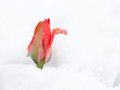 Red tulip growing in snow.Tulip flower in the spring growing through the snow Royalty Free Stock Photo