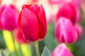 Red Tulip Growing In Spring Garden Royalty Free Stock Photo
