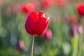 Red tulip isolated with blurred background Royalty Free Stock Photo