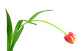 Red tulip isolated on white! Royalty Free Stock Photo