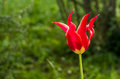 red tulip lily blossom on a green blurry background Royalty Free Stock Photo