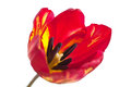 Red tulip macro bright beautiful in sunlight on a white background spring Royalty Free Stock Photography