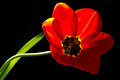 Red tulip over the black background Royalty Free Stock Images