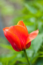 Red Tulip Over Green Background