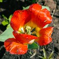 Red tulip with rain drops Royalty Free Stock Photo