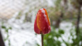 Red tulip snow covered closeup Royalty Free Stock Photo