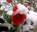 Red tulip and snow Royalty Free Stock Photo