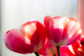 Red tulip soft focus Royalty Free Stock Photo