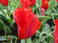 Red tulip of Royalty Free Stock Photo