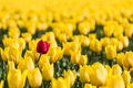 A red tulip is standing in a field of yellow tulips Royalty Free Stock Photo