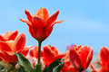 Red tulip stands on the other flowers background of blue sky Royalty Free Stock Photos