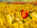 Red tulip stands out in the field of yellow tulips Royalty Free Stock Photo