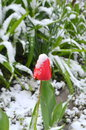Red tulip under the snow