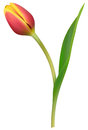 Red tulip vector realistic on white background Royalty Free Stock Photography