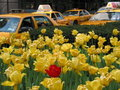 Red tulip & yellow cabs Royalty Free Stock Photo