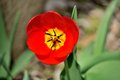 Red tulip with a yellow center on a sunny day Royalty Free Stock Photo