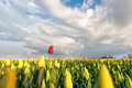 Red tulip on yellow field in spring Royalty Free Stock Photo