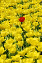 Red tulip and yellow tulips Stock Photos