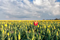 Red tulip among yellow tulips on field Royalty Free Stock Photo