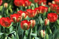 Red tulips blooming in field Royalty Free Stock Photo