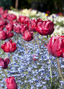 Red tulips and blue flowers on a garden in spring Stock Images