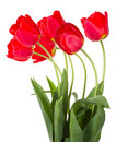 Red tulips bouquet Stock Photo