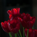 Red tulips in chiaroscuro Royalty Free Stock Image