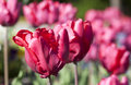 Red tulips closeup and blue flowers on a garden in spring Royalty Free Stock Photo