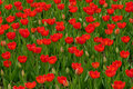 Red tulips field Royalty Free Stock Photography