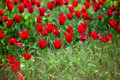 Red tulips in the field Royalty Free Stock Image