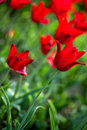 Red tulips in the field Royalty Free Stock Images