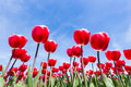 Red tulips field bottom view with blue sky Royalty Free Stock Photo