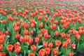 Red tulips field in the garden Stock Photos
